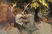 野生动物标本-驯鹿