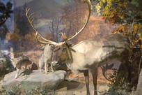 野生动物标本驯鹿和郊狼