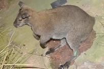 野生动物标本-尤金袋鼠