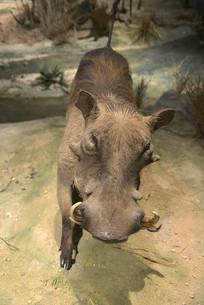 野生动物标本疣猪