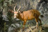 野生动物标本-紫羚羊