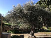 意大利郊野公园大树
