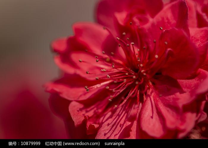 一朵红色碧桃花特写图片