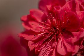 一朵红色碧桃花特写