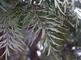 银桦树绿色的枝叶