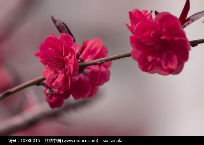 一枝红叶红色碧桃花图片