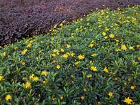 园艺绿化植物黄金菊