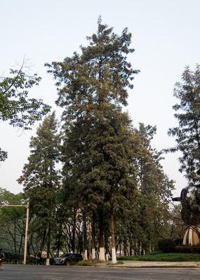重庆大学校园里的银桦树