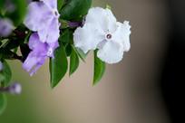 紫白色的花