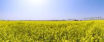 俯瞰盛开的油菜花海全景大图