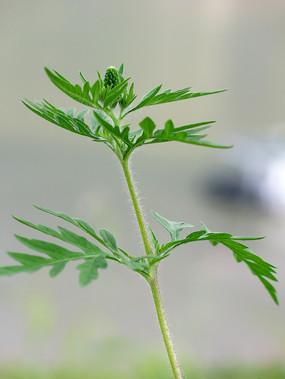 菊科植物豚草的茎和枝叶