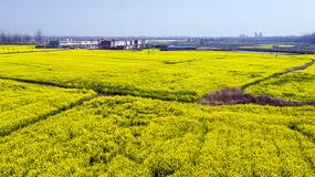 田野盛开的油菜花