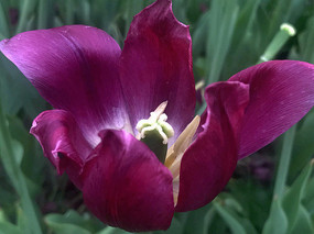 紫色郁金香花蕊