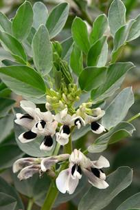 菜地蚕豆的花