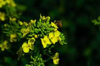 踩花的蜜蜂