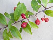 刺茶裸实红色蒴果和绿色枝叶