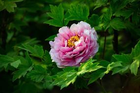 粉红色牡丹花特写
