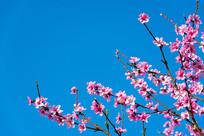 蓝天下的桃花