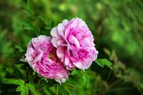 两朵粉红色牡丹花特写