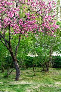 一棵盛开桃花的树