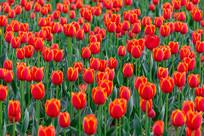 一片红色郁金香
