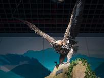 三峡库区野生动物金雕标本