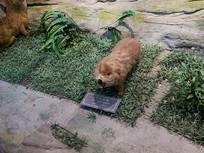 三峡库区野生动物中华竹鼠标本