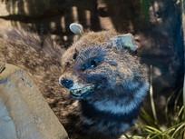 三峡库区野生动物资源大灵猫标本