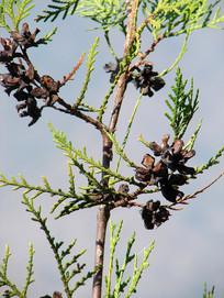 柏科植物侧柏树枝