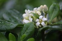 白色柚子花