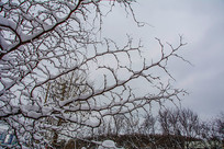 挂着雪挂的长长的细树枝