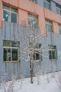 楼前两株挂着雪挂的细细的小树
