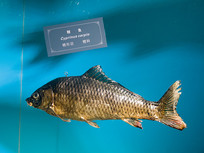 三峡库区野生动物资源鲤鱼标本