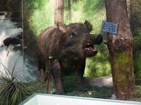三峡库区野生动物资源野猪标本