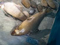 三峡库区野生动物资源胭脂鱼标本