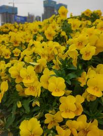 黄色的花瓣