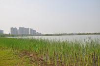 湖边的芦苇嫩芽
