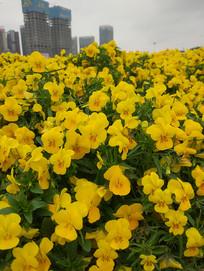 金黄色的花