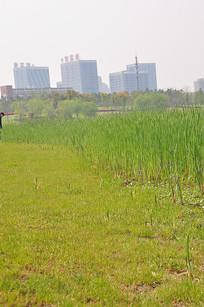 芦苇和小草