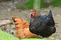 农家散养的母鸡