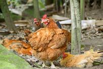 农家散养鸡-母鸡