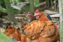 农家散养母鸡
