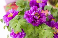 盛开的紫牡丹