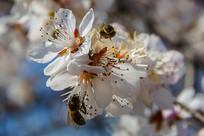 落在桃树花花朵上的两只蜜蜂