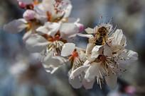 落在桃树花花朵上的蜜蜂