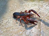 溪流中小龙虾