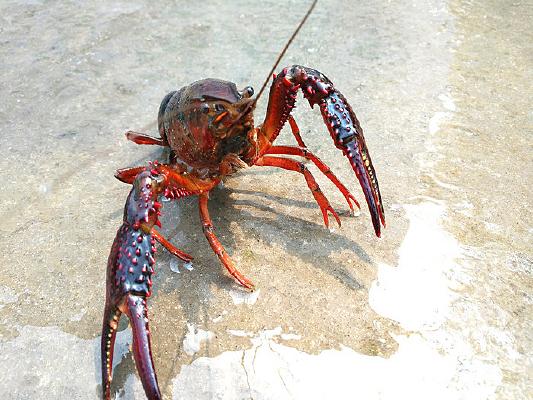 溪水小龙虾