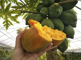 热带果园木瓜