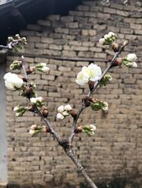 一株开放的白色樱花