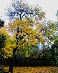 秋天公园里的大树